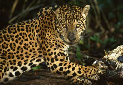 information  jaguar