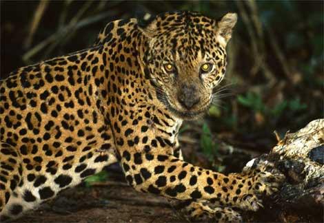 information  jaguar